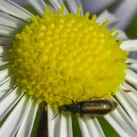 ASTERACEAE_sp_00_and_bug.jpg