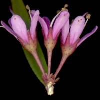 Agathosma_pungens_three_flower_800x600.jpg