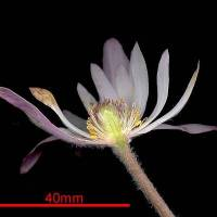Anemone_tenuifolia_flower_section_a.jpg