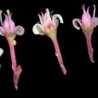 Crassula_rupestris_naked_flower_a.jpg