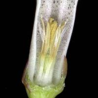 Cyphia_volubilis_naked_flower_a.jpg