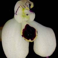 Disa_cornuta_flower_top_hood_removed.jpg