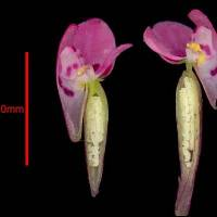 Disa_glandulosa_naked_flower.jpg