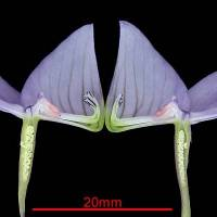 Disa_maculata_naked_flower_section.jpg