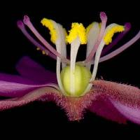 Drosera_hilaris_naked_flower_detail.jpg