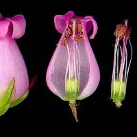 Erica_denticulata_naked_flower.jpg