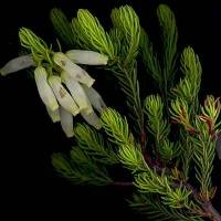 Erica_gliva_stem_and_leaf.jpg