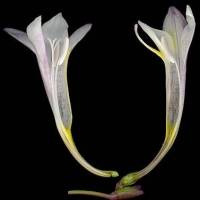 Freesia_alba_naked_flower.jpg
