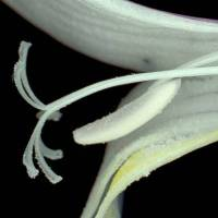 Freesia_alba_naked_flower_a_anther_and_stigma.jpg
