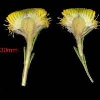 Leucadendron_levisanus_male_naked_flower_head.jpg