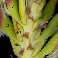 Mimetes_cucullatus_cowl_leaf_attachment_a_detail.jpg