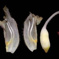 Orobanche_minor_naked_flower.jpg