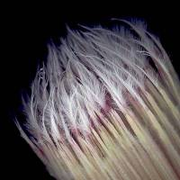 Protea_lepicarpodendron_flower_tips.jpg