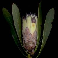 Protea_lepicarpodendron_leaves_removed.jpg