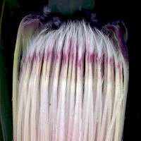 Protea_lepicarpodendron_naked_flower_head_section_a.jpg