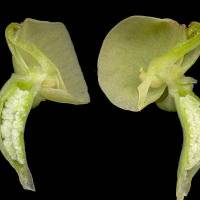 Pterygodium_catholicum_KBa_flower_section.jpg