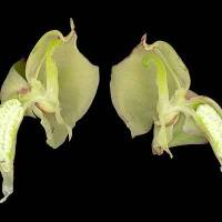 Pterygodium_catholicum_naked_flower.jpg