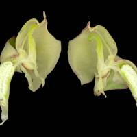 Pterygodium_catholicum_naked_flower_1280x1024.jpg